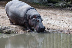 Hyppopotamus hippo close up portrait Royalty Free Stock Photography