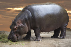 Hyppopotamus portrait Royalty Free Stock Photo