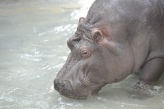 Hyppopotamus portrait Royalty Free Stock Photos