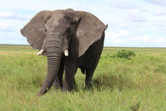 Hyppos在坦桑尼亚 免版税库存图片