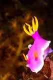 Hypselodoris apolegma Nudibranch海参 免版税库存图片