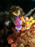 Hypselodoris apolegma Royalty Free Stock Images