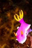 Hypselodoris apolegma Nudibranch Sea Slug Royalty Free Stock Images