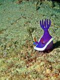 Hypselodoris bullockii Royalty Free Stock Photography