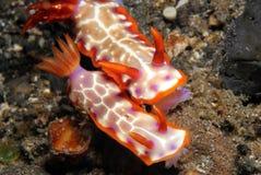 Hypselodoris Iacula Image libre de droits