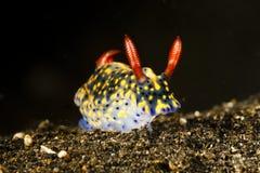 Hypselodoris infucata nudibranch, Lembeh Strait, Indonesia royalty free stock images