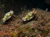 Hypselodoris kanga Nudibranch 02 免版税图库摄影