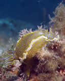 Hypselodoris picta Royalty Free Stock Images