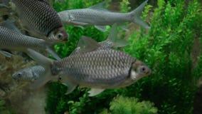 Hypsibarbus Malcomi ryby pływa i relaksuje w jasnej wodzie zdjęcie wideo