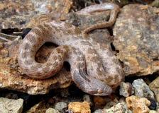 hypsiglena jani noc węża Texas torquata zdjęcie stock