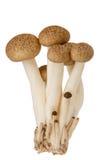 Hypsizygus marmoreus Stock Image