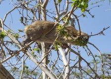 Hyracoidea di roccia che mangia in un albero in Ein Gedi in Israele fotografie stock libere da diritti