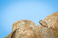 Hyracoidea di roccia che prende il sole al sole immagine stock