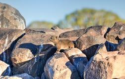 Hyracoidea di roccia - foresta dell'albero del fremito, Namibia Fotografie Stock Libere da Diritti