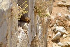 Hyracoidea di roccia siriana Immagine Stock Libera da Diritti