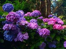 Hyrangeas Colourful fotografie stock