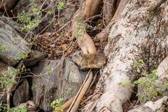 Hyrax από την Κένυα Στοκ εικόνες με δικαίωμα ελεύθερης χρήσης