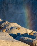 Hyrax утеса или dassie Стоковое Фото