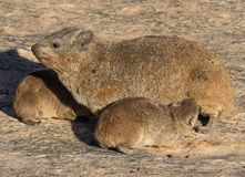Hyrax утеса или dassie Стоковое Изображение