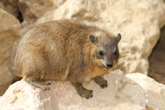 Hyrax Royalty Free Stock Image