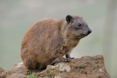 Hyrax Royalty Free Stock Images