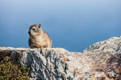 Hyrax. The small hyrax is sitting in the sun Royalty Free Stock Photography
