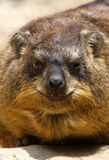 Hyrax Stock Images