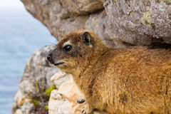 Hyrax animal lying between the rocks Stock Image