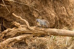 Hyrax small animal sitting on a dry tree branch. Hyrax dassies small thickset mammal herbivorous mammal in the order Hyracoidea. Hyrax well-furred rotund rodent royalty free stock photo