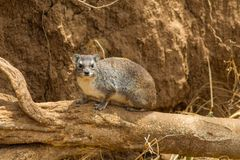 Hyrax small animal sitting on a dry tree branch Stock Images