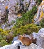 Hyrax de roca Imagenes de archivo