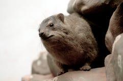 Hyrax de roca (capensis del Procavia) Fotos de archivo
