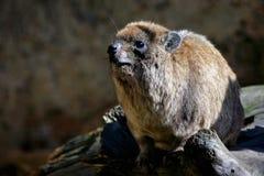 Hyrax de roca (capensis del Procavia) Imagen de archivo libre de regalías