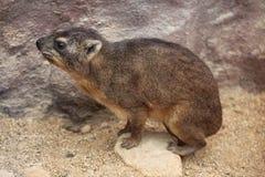Hyrax de roca (capensis del Procavia) Imágenes de archivo libres de regalías
