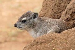 Hyrax de rocha Foto de Stock Royalty Free