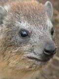Hyrax de rocha imagens de stock