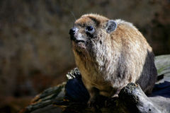 Hyrax de rocha (capensis do Procavia) Imagem de Stock Royalty Free