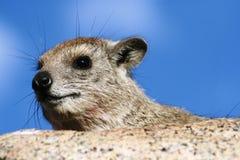 Hyrax de rocha Fotos de Stock