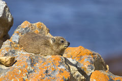 Hyrax de roche Image stock