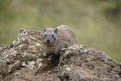 Hyrax de roche Photos stock