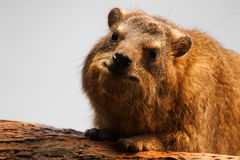 Hyrax de roche, capensis de Procavia Photo stock