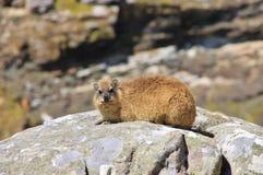Hyrax de roche en parc national Photos libres de droits