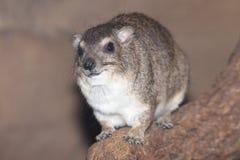 Hyrax de roche Jaune-repéré images stock