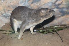 Hyrax de roche Jaune-repéré photo libre de droits