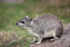 hyrax de roche Jaune-repéré photos stock