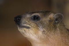 Hyrax del cabo (capensis del Procavia) imagen de archivo