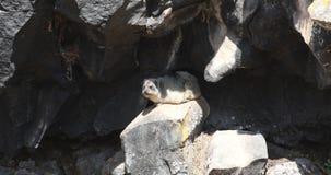 Hyrax del cabo en roca almacen de metraje de vídeo