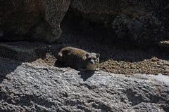 Hyrax di roccia Immagini Stock