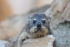 Hyrax di roccia Fotografia Stock