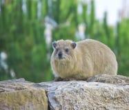 Hyrax di roccia (capensis di Procavia) Fotografie Stock Libere da Diritti